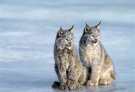 Victory for Canada Lynx   Brave New Wild   WildEarth Guardians