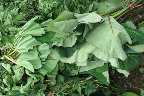 Cocoyam leaves for sale at Cameroon market | Cocoyam