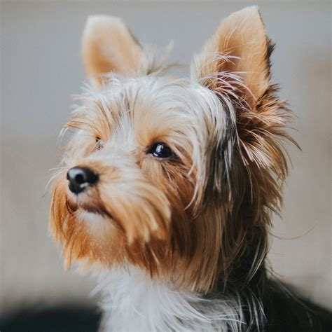 Yorkie Puppies for Sale from Top Yorkshire Terrier Breeders